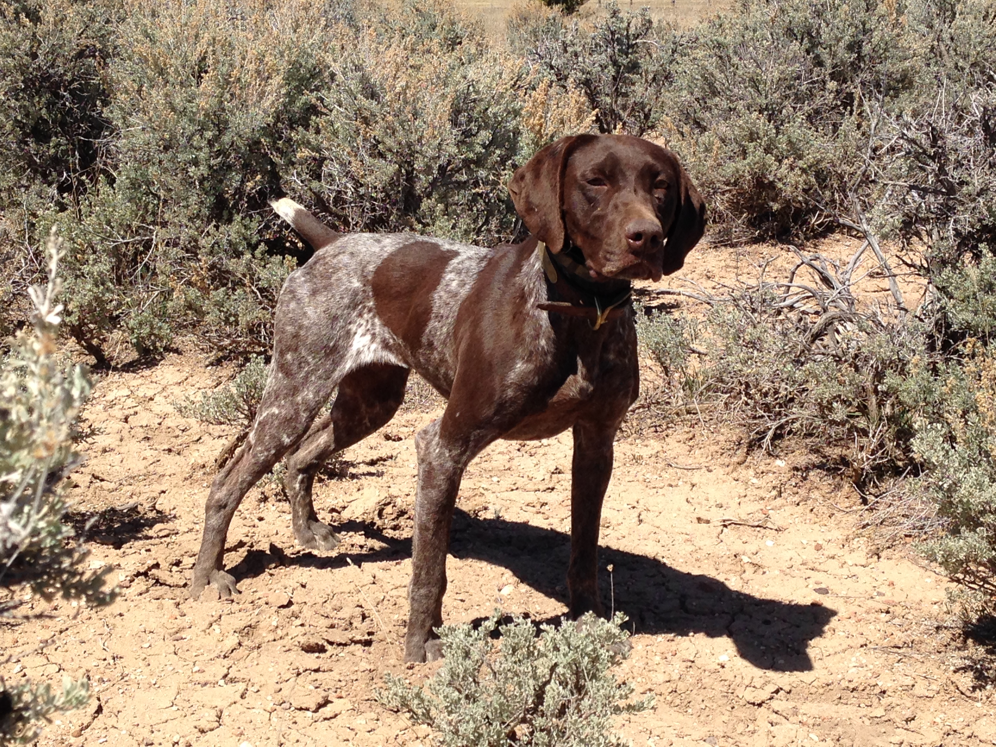 Fully trained German Shorthair Pointer