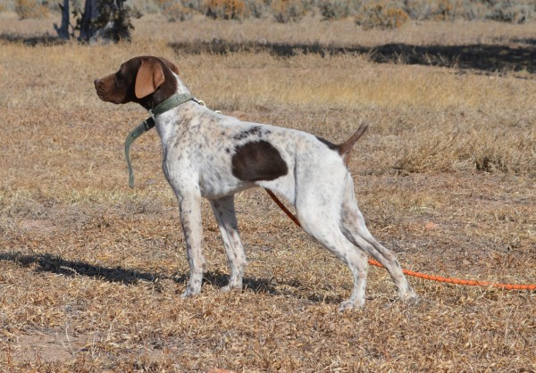 German Shorthair Pointer Puppy on Point