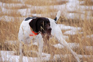 Dozer German Shorthaired Pointer