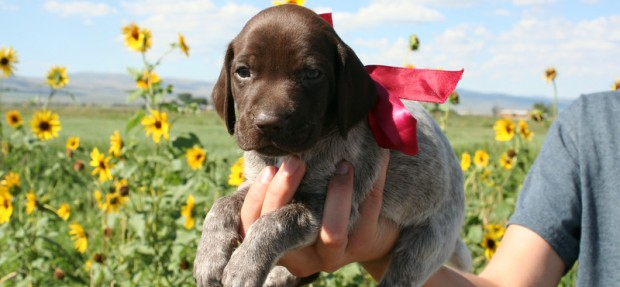 German Shorthair Pointer Puppies Minnie X Henry 2014 Litter