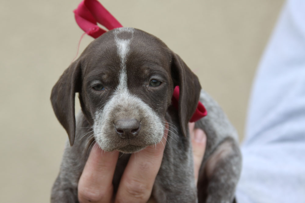 ... Gun Dogs | German Shorthaired Pointer Puppies and Started dogs