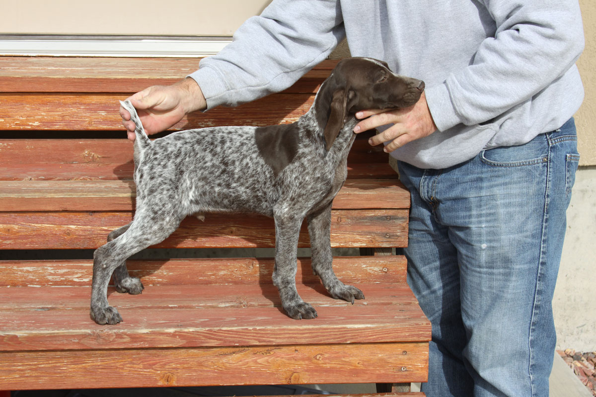 Heath German Shorthair Pointer Puppy