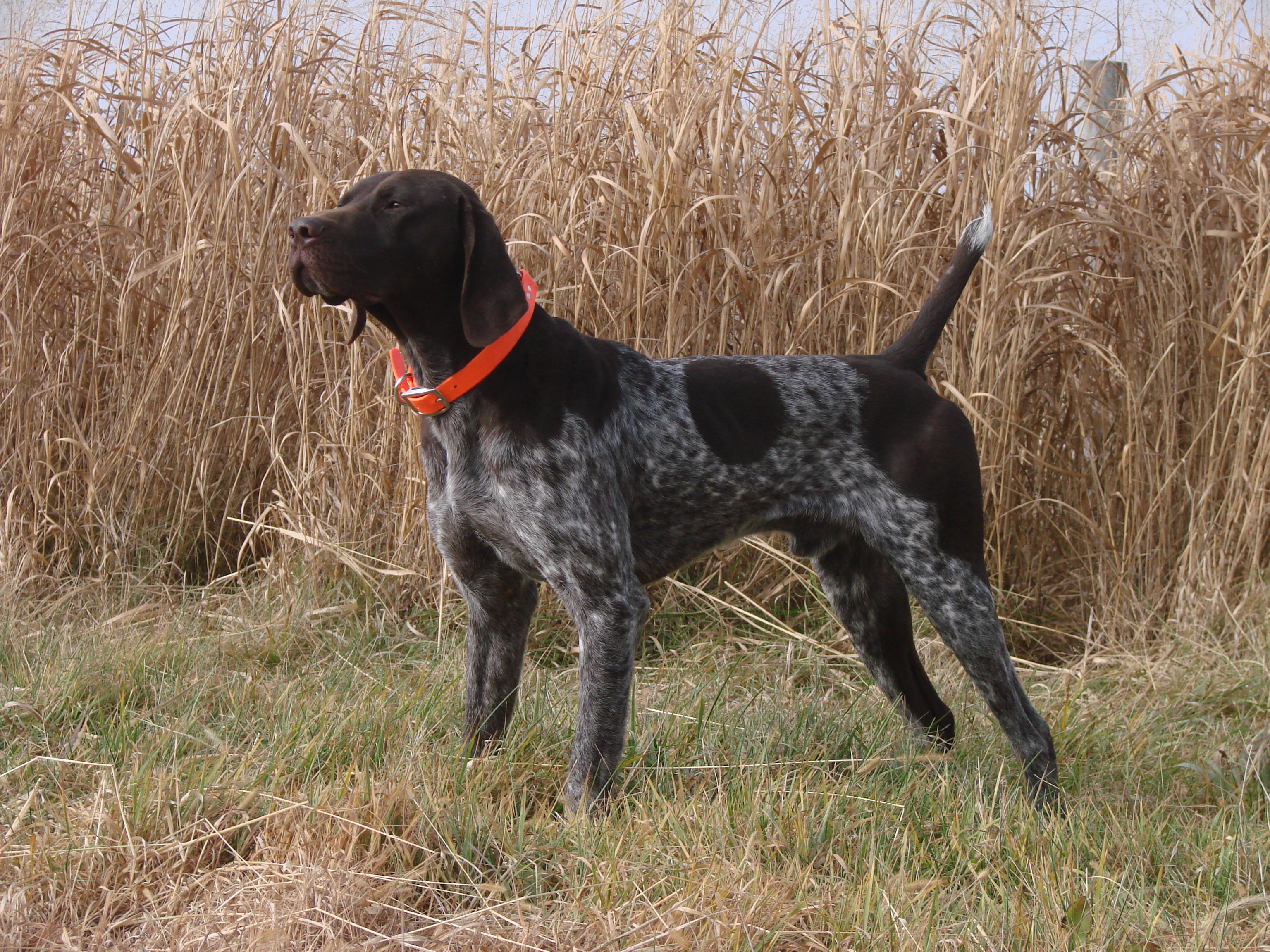 Best Gun Dogs Utah German Shorthaired Pointer Breeders