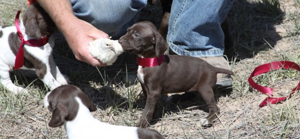 When to start training a puppy for hunting?