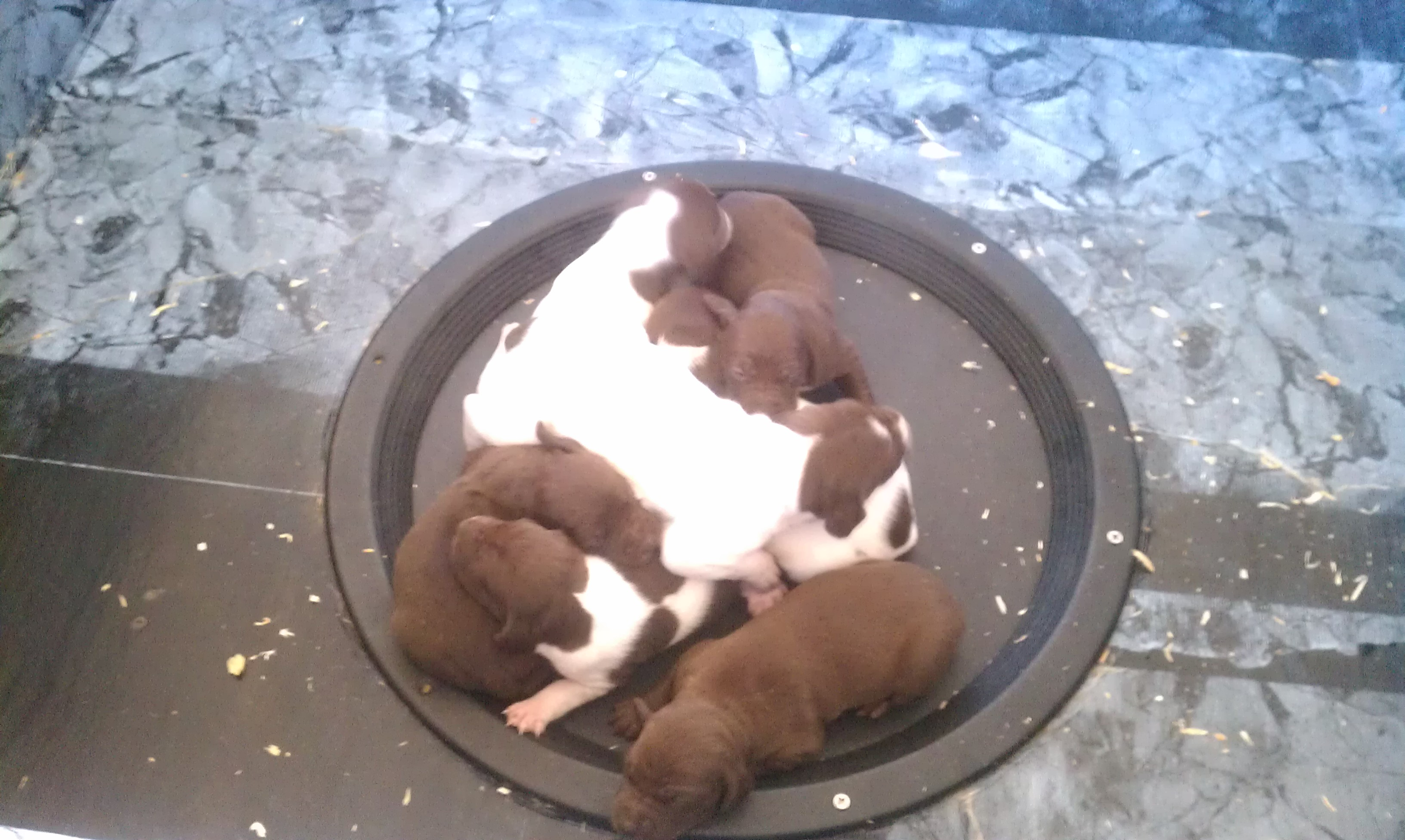 FC/AFC Jessie puppies are a week old!