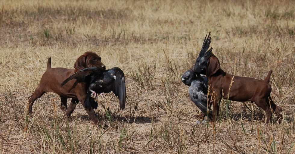 German Shorthair Puppies working birds