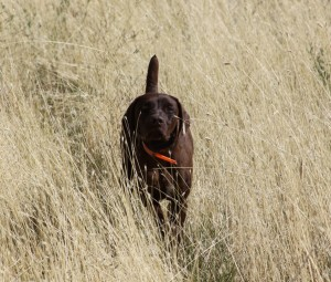 Lacie Solid Liver German Shorthaired Pointer
