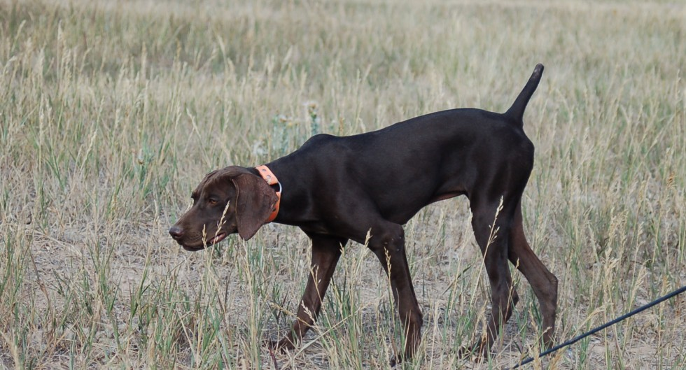 Started German Shorthair Puppies