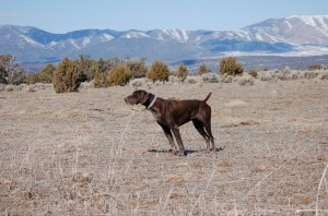 Solid Liver German Shorthaired Pointer Stud