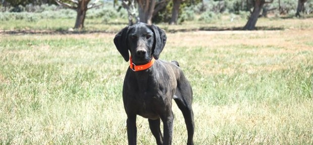 Trained German Shorthair Pointer