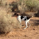 German Shorthaired Pointer puppy pointing Quail