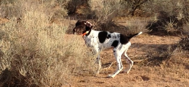 Genetics make training Bird Dogs easier!