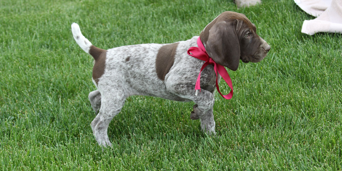 Hunting Dog For Sale Cheap Video
