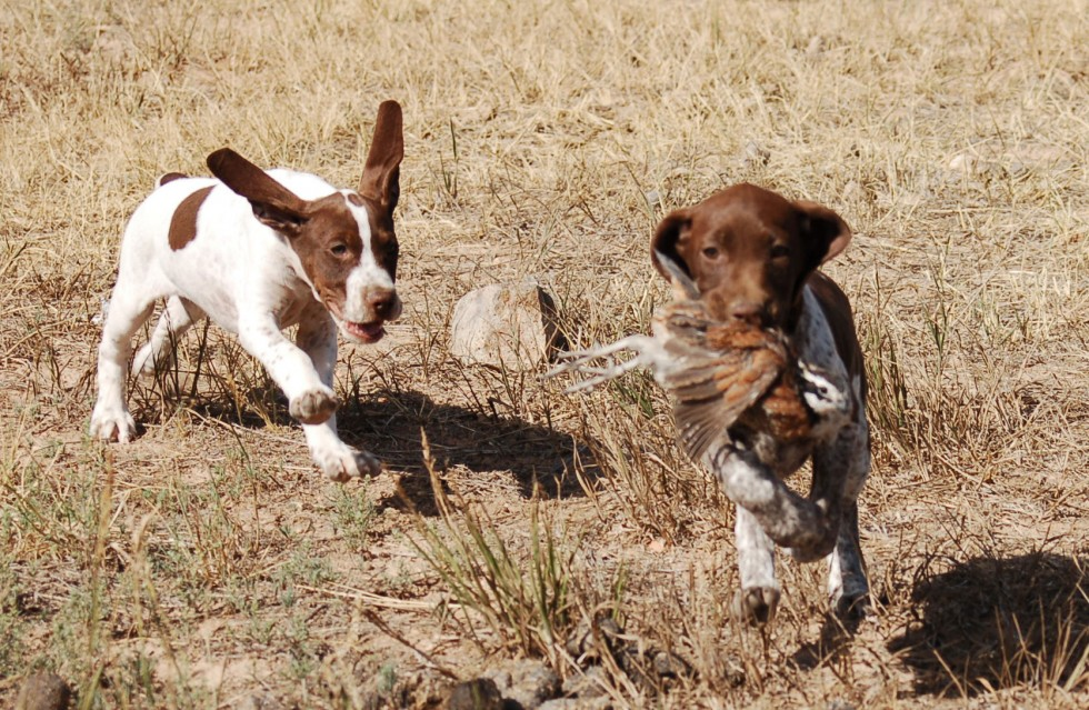 GSP Puppies working Quail
