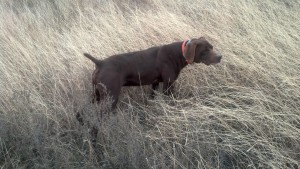 Sire Toby - Solid Liver GSP