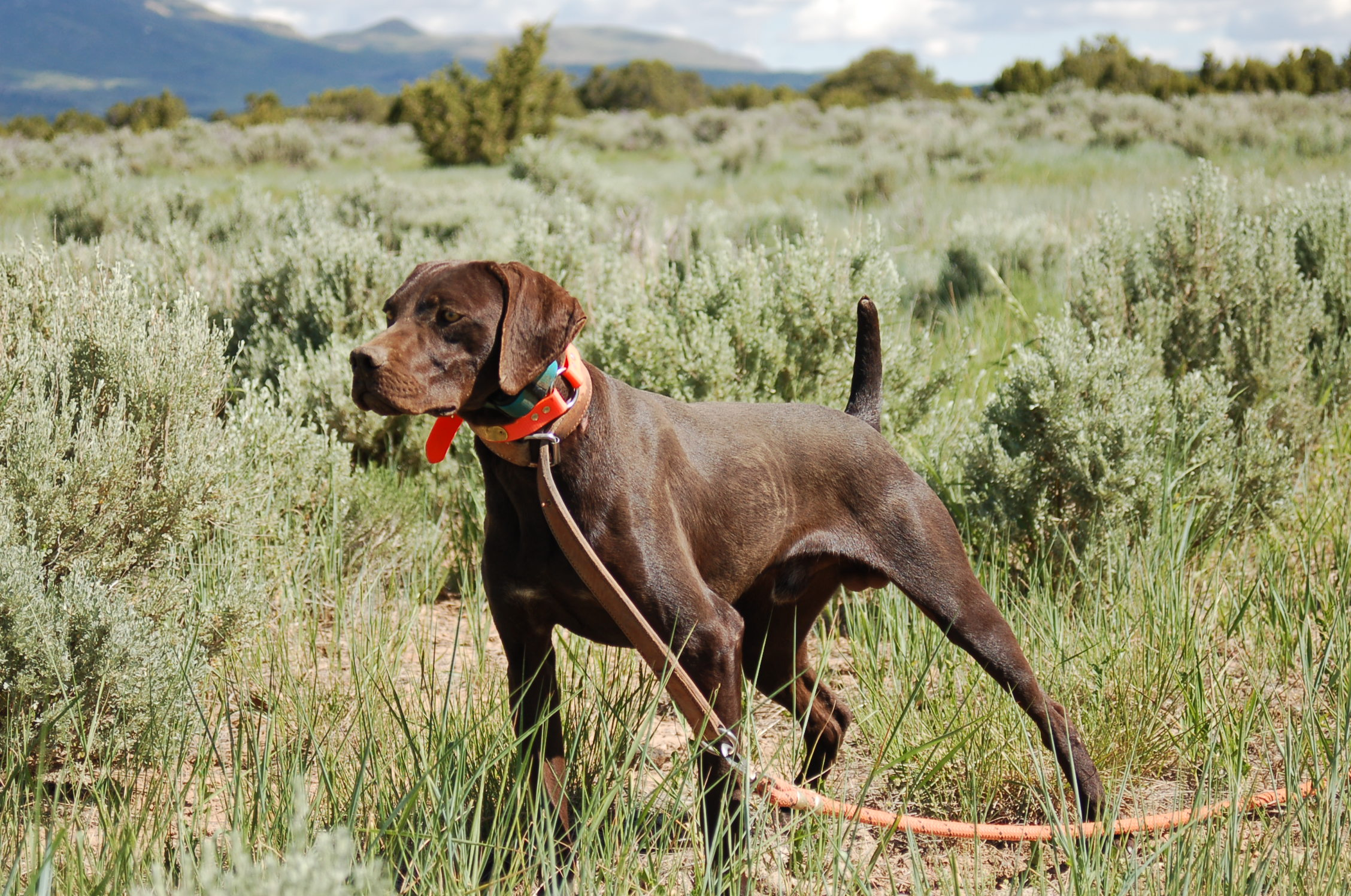 The German Shorthaired Pointer Breed