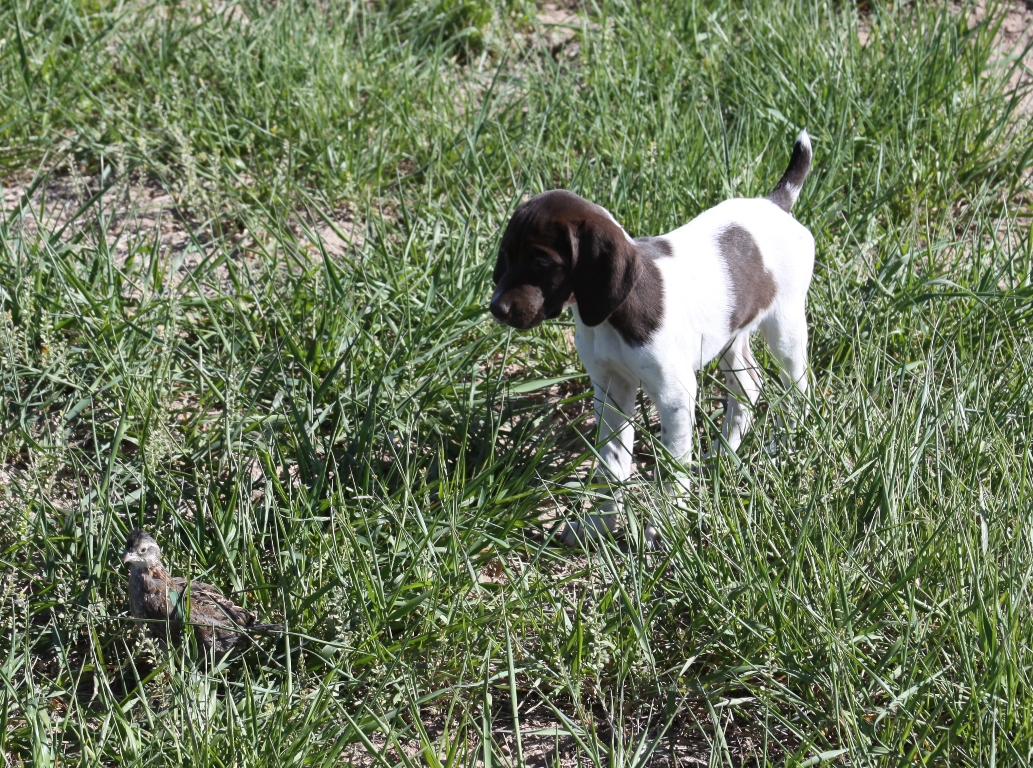 German Shorthaired Pointer Duck Dog For Sale