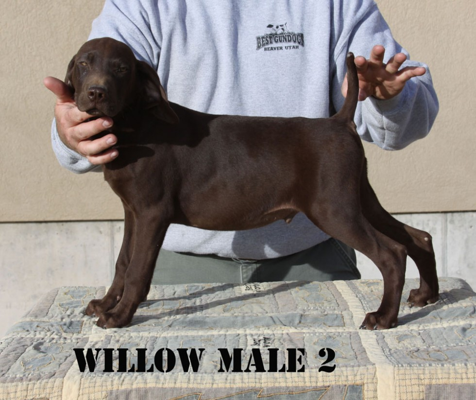Willow-Male-2