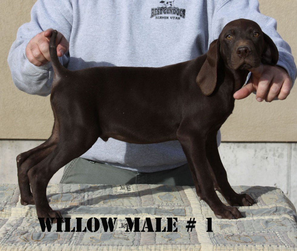Willow-Male1