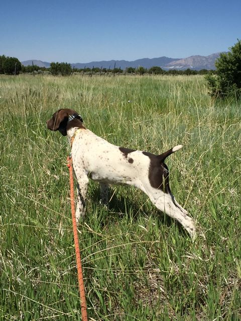 Started German Shorthair Pointers